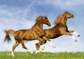 Horses on Grazing Land